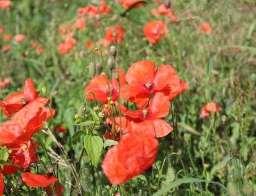 Rode klaprozen op Monte Cassino